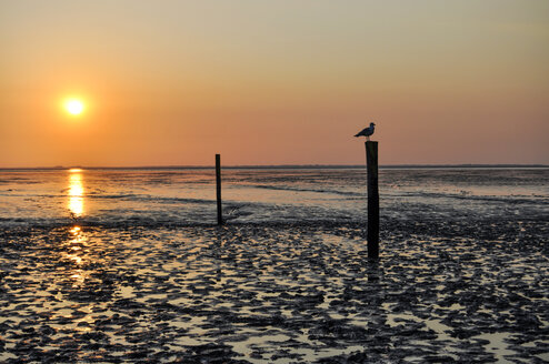 Germany, Lower Saxony, East Friesland, Norddeich, Lower Saxon Wadden Sea National Park, Seagull on wooden stake at sunset - ODF000733