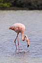 Oceania, Galapagos Islands, Santa Cruz, American Flamingo, Phoenicopterus ruber, on foraging - CB000316