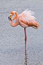 Oceania, Galapagos Islands, Santa Cruz, American Flamingo, Phoenicopterus ruber, standing in water - CB000318