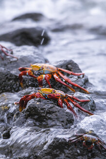 Oceania, Galapagos Islands, Santa Cruz, two red rock crabs, Grapsus grapsus, sitting on a rock - CB000327