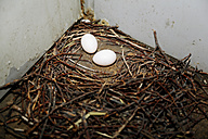 Germany, Berlin, Pigeon's egg in a nest, Columba - NGF000126