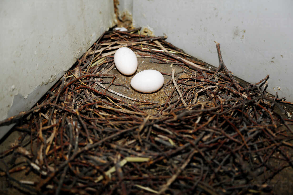 Germany, Berlin, Pigeon's egg in a nest, Columba - NGF000126 - Nadine Ginzel/Westend61