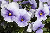 Germany, Horned Violet, Viola cornute - WIF000805