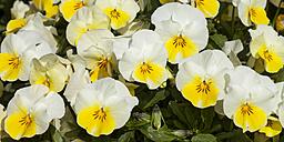 Germany, Horned Violet, Viola cornute - WIF000807