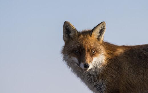 Germany, Saxony, Harz National Park, Fox, Vulpini - PVCF000016