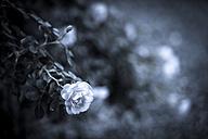 Roses, Rosaceae - KJ000304