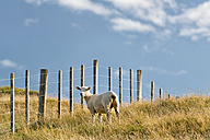 New Zealand, Golden Bay, Puponga, sheep on a meadow near Cape Farewell - SHF001410