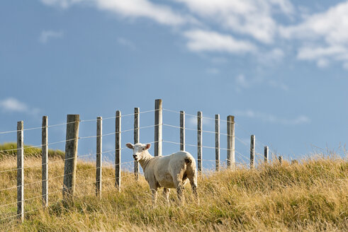 New Zealand, Golden Bay, Puponga, sheep on a meadow near Cape Farewell - SHF001410
