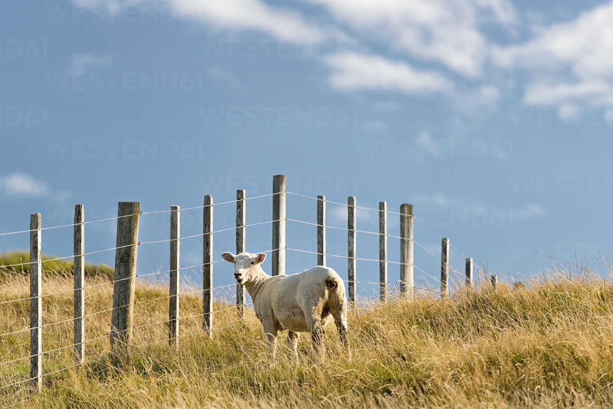 New Zealand, Golden Bay, Puponga, sheep on a meadow near Cape Farewell - SHF001410 - Holger Spiering/Westend61
