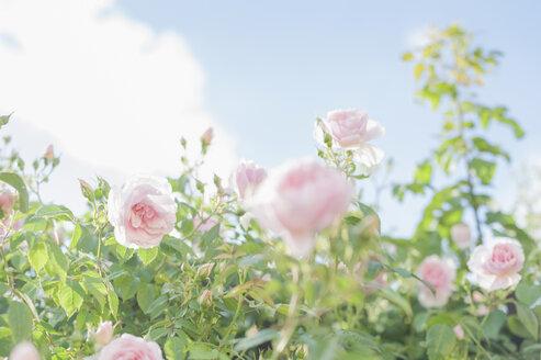 Germany, Saxony, Roses, Rosa - MJF001293