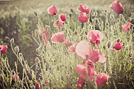 Germany, Saxony, Poppy flowers, Papaver rhoeas - MJF001299