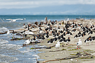 New Zealand, Golden Bay, Pakawau, flock of South Island Pied Oystercatchers and segaulls resting at the beach - SHF001441