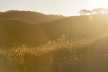 New Zealand, Golden Bay, Wharariki Beach, overgrown sand dunes with grass and trees in the evening sun - SHF001466