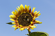 Sunflower, Helianthus annuus, with two insects in front of blue sky - SRF000588