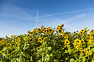 View to sunflower field, Helianthus annuus - SRF000593