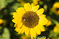 Sunflower, Helianthus annuus, with insect - SRF000594