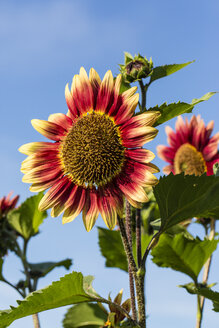 Bicoloured sunflowers, Helianthus annuus, in front of blue sky - SRF000600