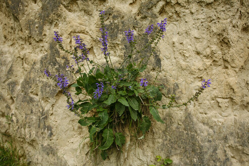 Meadow sage, Salvia pratensis, on steep face - ZCF000080