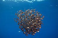Portugal, Azores, Santa Maria, Atlantic Ocean, school of boarfish - ZCF000094
