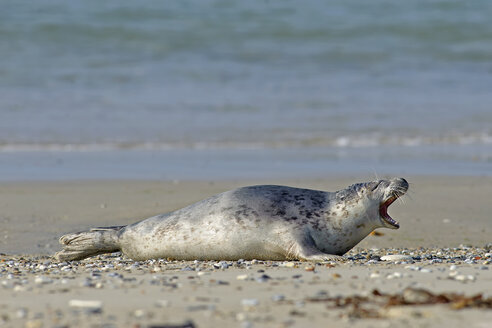 Germany, Helgoland, grey seal - HACF000147