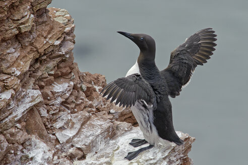 Germany, Helgoland, common murre on rock - HACF000154