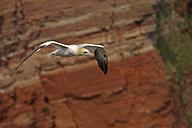 Germany, Helgoland, northern gannet flying - HACF000156