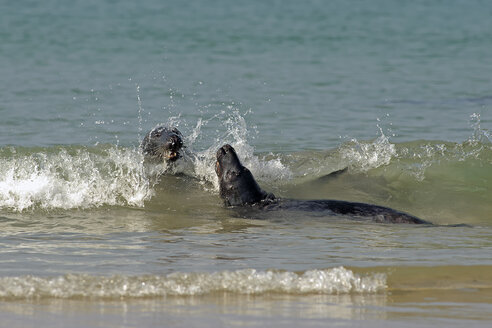 Germany, Helgoland, two grey seals in the ocean - HACF000160