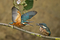Germany, Lower Saxony, Common kingfishers, Alcedo atthis, on branch - HACF000162