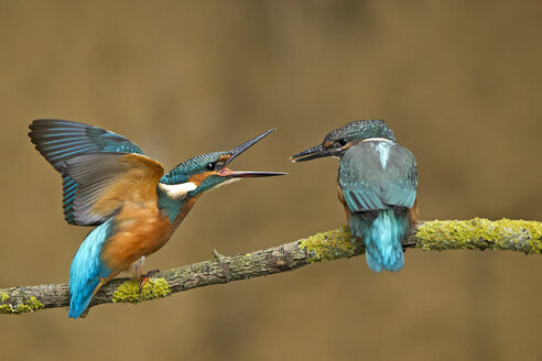 Germany, Lower Saxony, Common kingfishers, Alcedo atthis, on branch - HACF000163