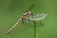 Black-tailed skimmer, Orthetrum cancellatum, in front of green background - MJOF000489