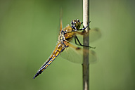 Four-spotted chaser, Libellula quadrimaculata, in front of green background - MJOF000495