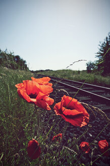 Germany, North Rhine-Westphalia, Corn Poppies, Papaver rhoeas near rail track - HOH000888