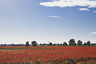 Germany, Cologne Widdersdorf, poppy field at sunlight - GWF003586