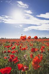 Germany, Cologne Widdersdorf, poppy field at sunlight - GWF003588