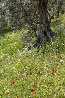 Turkey, Bursa Province, Mudanya, Olive orchard, Flower meadow - SIEF005494