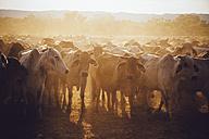 Australia, Western Australia, Australian cattle on a farm - MBEF001056