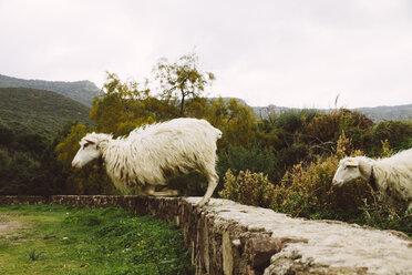 Italy, Sardinia, Alghero, Sheep jumping from stone wall - MBEF001037