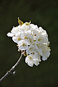 White blossoms of a cherry tree - AXF000704