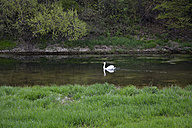 Germany, white swan swimming on the Danube River - AXF000709
