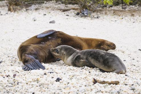 Ecuador, Galapagos, Genovesa, Galapagos sea lions, Zalophus wollebaekii,  at beach - CB000329