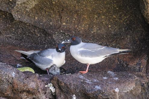 Ecuador, Galapagos, Genovesa, Swallow-tailed gulls, Creagrus furcatus - CB000350