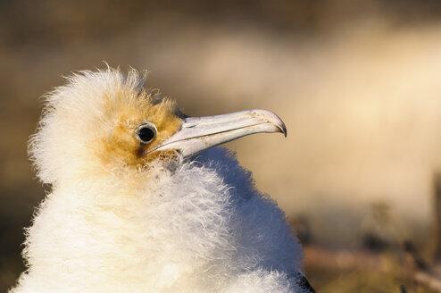 Ecuador, Galapagos, Genovesa,Young magnificent frigatebird, Fregata magnificens - CB000367