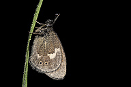 Large heath, Coenonympha tulliaon, hanging on wet blade of grass, in front of black background - MJO000506