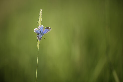 Common blue butterfly, Polyommatus icarus, hanging on blade of grass - MJOF000508
