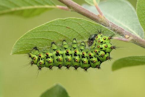 Emperor moth, Saturnia pavonia, hanging on leaf - MJOF000512