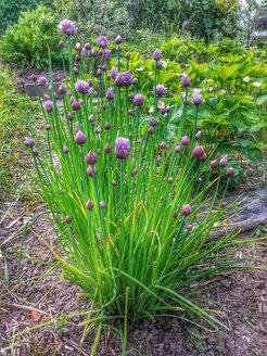 Flowering chives (Allium schoenoprasum), Waldenburg Germany - ALF000166