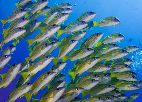 Oceania, Palau, Schoal of bluestripe snappers - JWAF000133