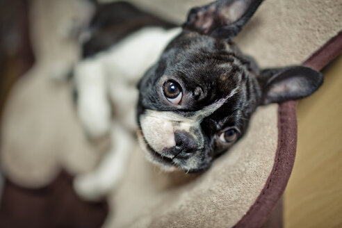 Germany, Rhineland-Palatinate, Boston Terrier, Puppy lying - NIF000017