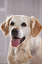 Portrait of Golden Retriever with outstretched tongue - HTF000463