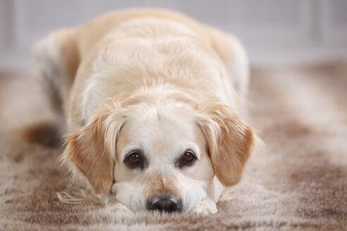 Portrait of Golden Retriever lying on fur - HTF000470